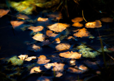 Dark Leaves in Water