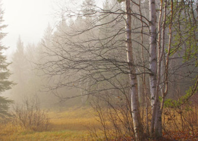 Birch in the Mist