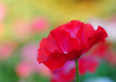 Passion for Poppies - Photograph