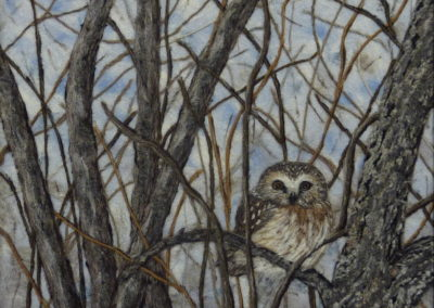 The Saw-whet Owl - A Welcome Winter Visitor