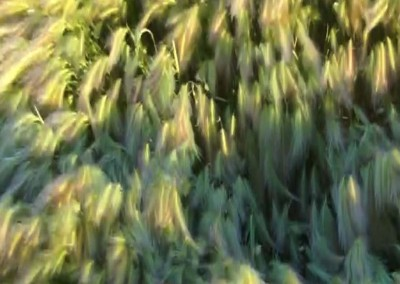 """Bonnie A. Conly """"Foxtails"""" 2015. Digital print; Video still clipped from film """"Three Sisters and the Foxtails"""". $85"""