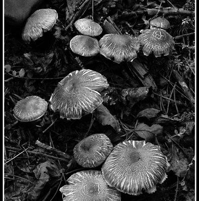 Mushrooms (Robert S. Pohl), 2012: Analog photography.  $695.