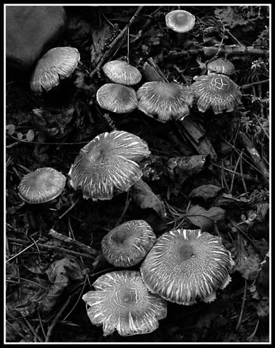Mushrooms (Robert S. Pohl), 2012: Analog photography.  $695.